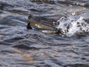 Salmon fighting upstream